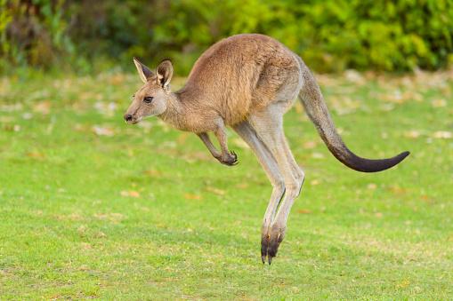New South Wales「Grey Kangaroo, Macropus giganteus, Jumping, Murramarang National Park, New South Wales, Australia」:スマホ壁紙(5)
