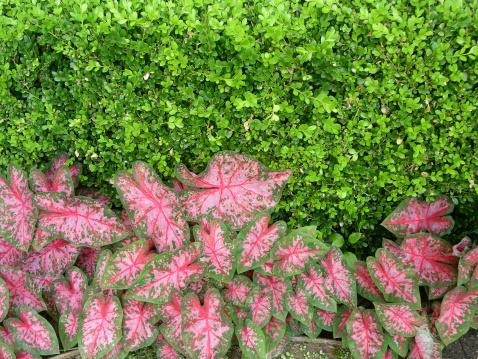 Variegated Foliage「Caladiums and Green Bush」:スマホ壁紙(14)