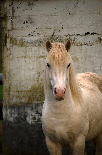 Long Hair「Icelandic Horse」:スマホ壁紙(10)