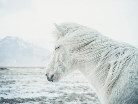 Horse「Icelandic Horse」:スマホ壁紙(6)
