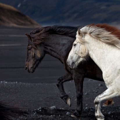 Horse「 Icelandic horses 」:スマホ壁紙(14)
