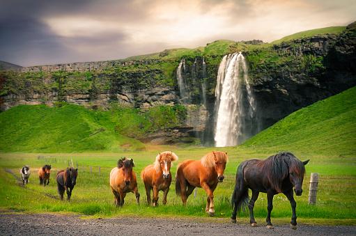 Horse「Icelandic horses at Seljalandsfoss waterfall」:スマホ壁紙(2)