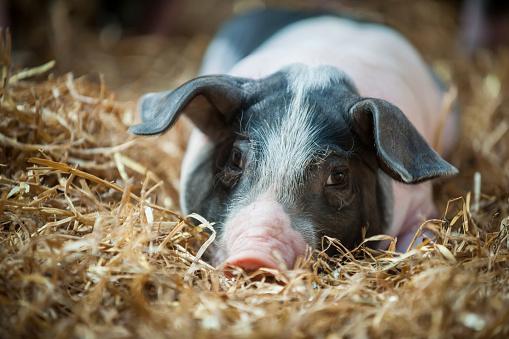Domestic Pig「Germany, Farrow on farm」:スマホ壁紙(13)