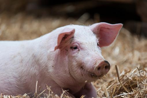 Domestic Pig「Germany, Farrow on farm」:スマホ壁紙(18)