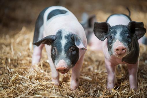 Domestic Pig「Germany, Farrows on farm」:スマホ壁紙(2)