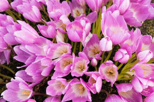 Crocus「Autumn crocus (Colchicum autumnale ) flowering in Botanic Gardens.」:スマホ壁紙(12)