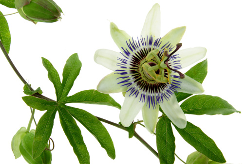 Frond「White Passion Flower」:スマホ壁紙(6)