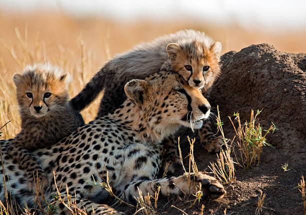 A mother cheetah and her adorable Cubs:スマホ壁紙(壁紙.com)