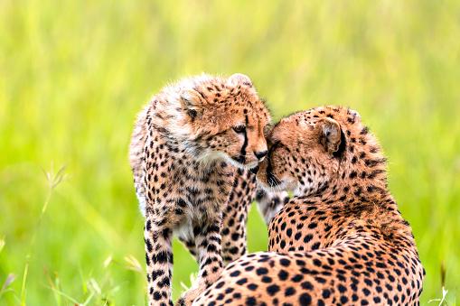 African Cheetah「Mother Cheetah and its baby」:スマホ壁紙(4)