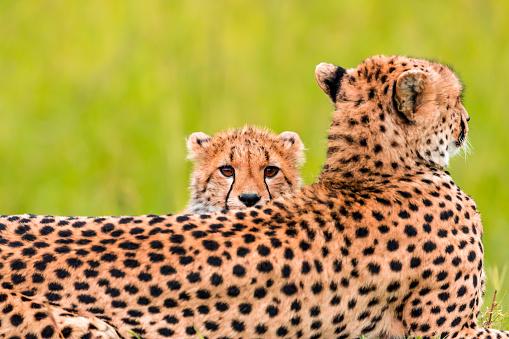 African Cheetah「Mother Cheetah and its baby」:スマホ壁紙(12)