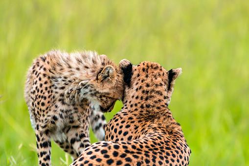 African Cheetah「Mother Cheetah and its baby - Love」:スマホ壁紙(14)