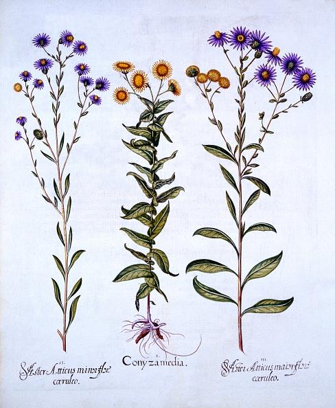 Basil「Horseweed/Butterweed/Fleabane And European Michaelmas Daisies」:写真・画像(1)[壁紙.com]