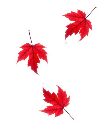 かえでの葉「Falling red maple leaves on white.」:スマホ壁紙(18)