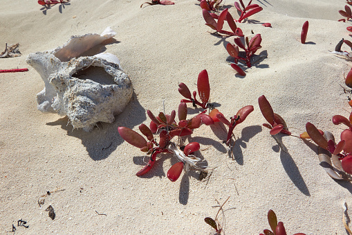 Beauty「Succulent beach-colonising shore vegetation besie a disintegrating conch shell, in Caribbean shoreline sand.」:スマホ壁紙(6)