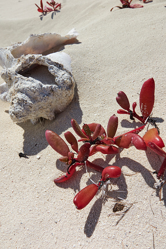 Beauty「Succulent beach-colonising shore vegetation besie a disintegrating conch shell, in Caribbean shoreline sand.」:スマホ壁紙(8)
