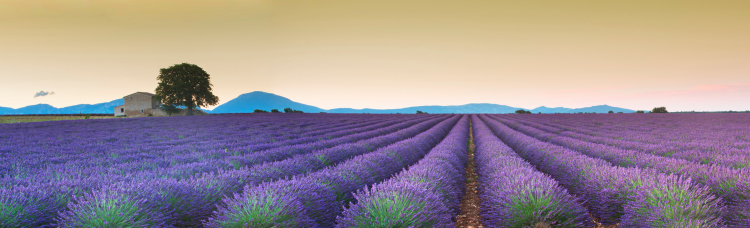 French Lavender「Lavanda fields sunrise」:スマホ壁紙(14)