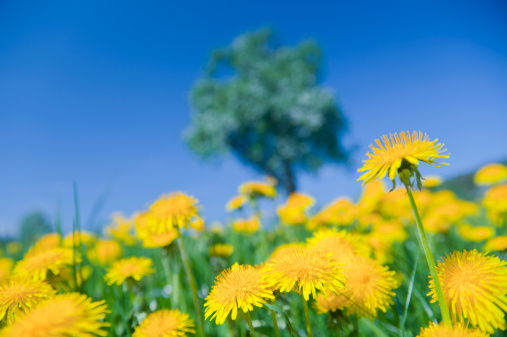 たんぽぽ「Germany, View of dandelion with apple tree in background」:スマホ壁紙(0)