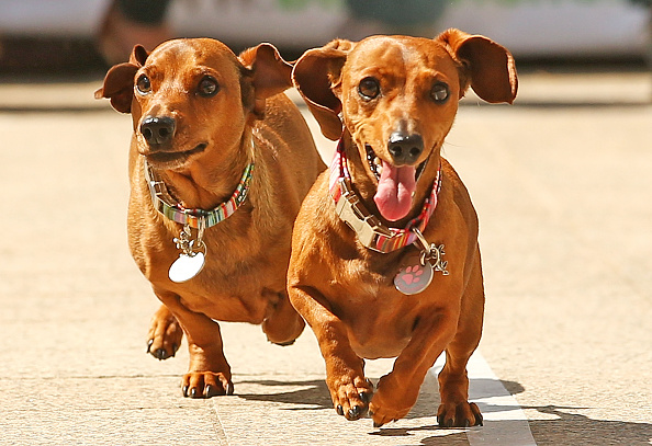Holiday - Event「Dachshund Racing In Melbourne To Celebrate Oktoberfest」:写真・画像(0)[壁紙.com]