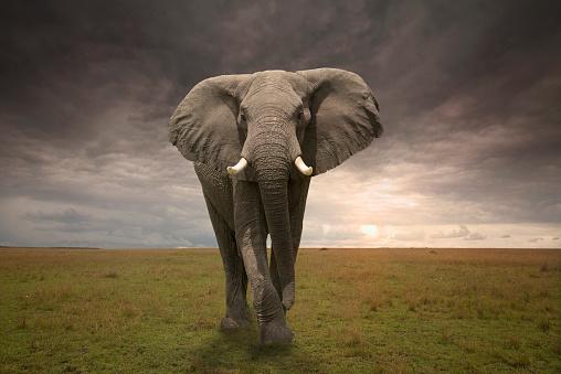 Elephant「Threatening male elephant」:スマホ壁紙(6)