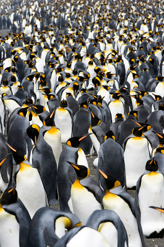 Large Group Of Animals「penguins to the horizon VI」:スマホ壁紙(14)