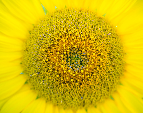 Petal「Sunflower detail, sunflower plantation, Cuestahedo, Merindad de Montija, Merindades, Burgos, Castilla y Leon, Spain, Europe」:スマホ壁紙(12)