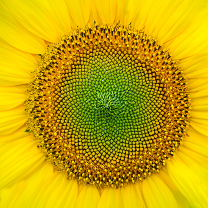 Petal「Sunflower detail, sunflower plantation, Cuestahedo, Merindad de Montija, Merindades, Burgos, Castilla y Leon, Spain, Europe」:スマホ壁紙(18)