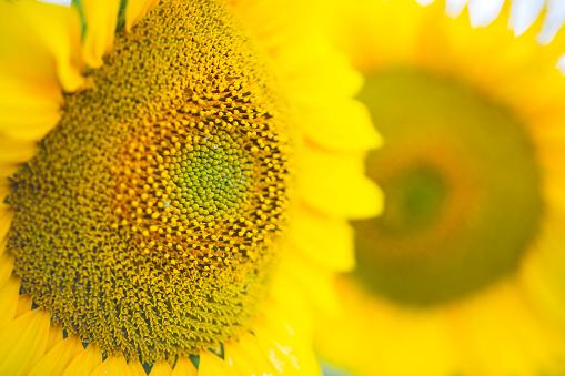 Petal「Sunflower detail, sunflower plantation, Cuestahedo, Merindad de Montija, Merindades, Burgos, Castilla y Leon, Spain, Europe」:スマホ壁紙(17)