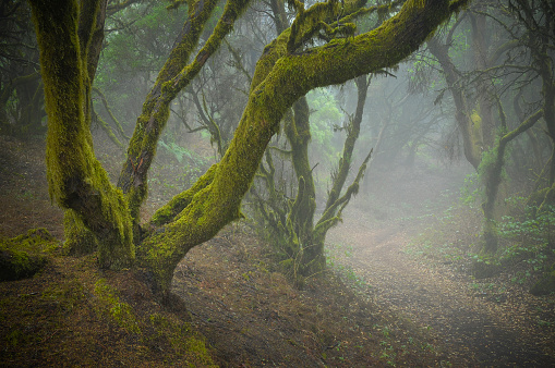Fog「Mystic mood in the rainforest. Laurisilva forest on a Canary Island.」:スマホ壁紙(13)