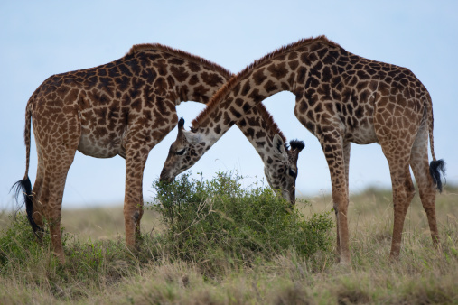 キリン「Giraffes, Masai Mara Game Reserve, Kenya」:スマホ壁紙(10)