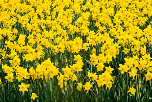 水仙「Daffodil field. Skagit Valley, Washington. USA」:スマホ壁紙(3)