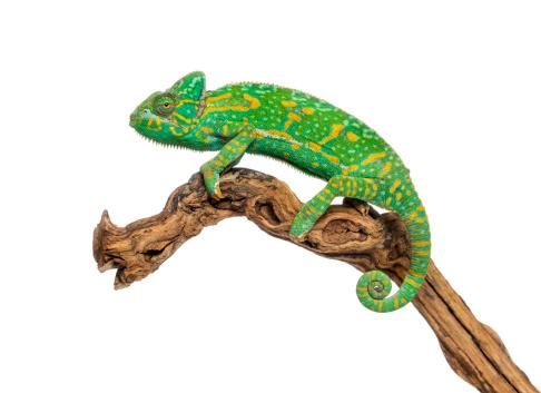 Belgium「Yemen chameleon on a branch」:スマホ壁紙(18)