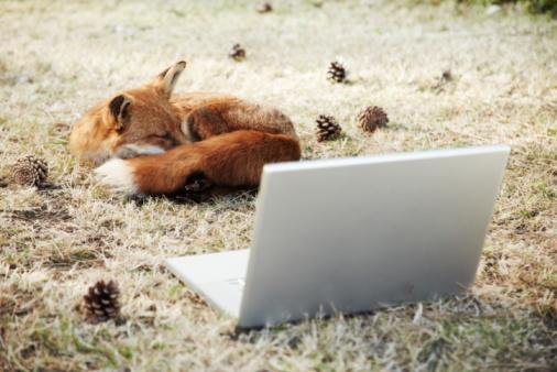 Red Fox「Fox sleeping with laptop」:スマホ壁紙(15)