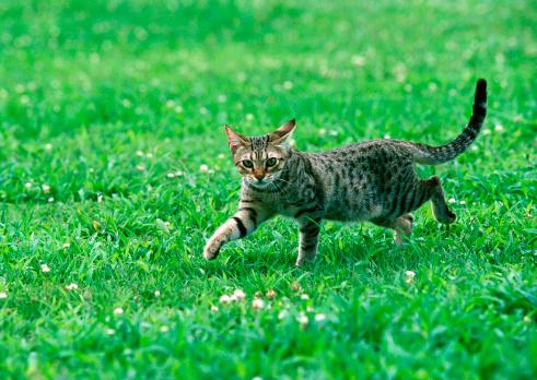 Playing「Ocicat」:スマホ壁紙(14)