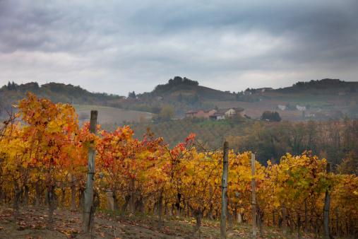 Piedmont - Italy「Barolo  grape harvest」:スマホ壁紙(5)