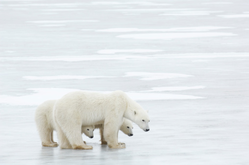 Bear Cub「Canada, Manitoba, Churchill, female Polar Bear with two cubs standing on ice, side view」:スマホ壁紙(10)