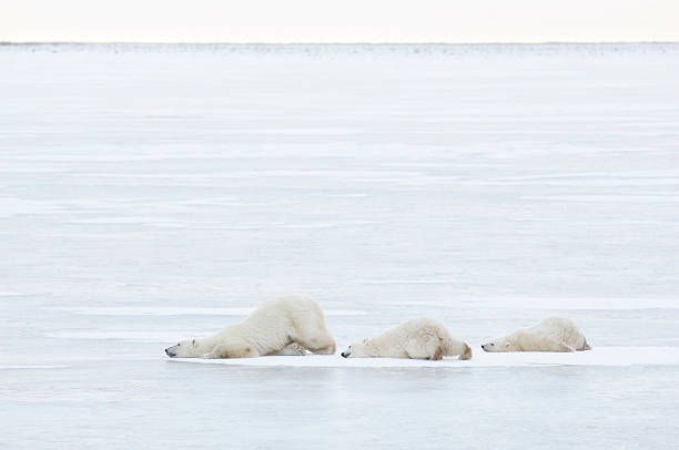 Canada, Manitoba, Churchill, female Polar Bear with two cubs walking on ice, side view:スマホ壁紙(壁紙.com)