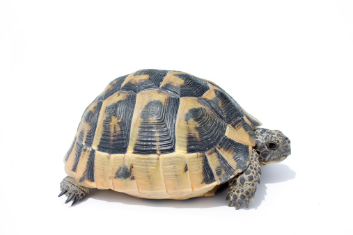 Baby animal「Turtle」:スマホ壁紙(19)