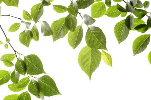 Back Lit「Leaf Series」:スマホ壁紙(4)