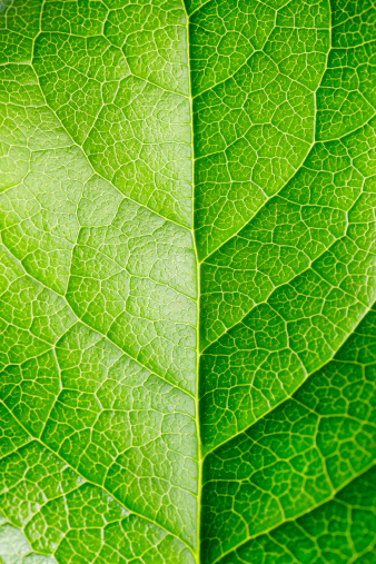 Leaf Vein「Leaf Series」:スマホ壁紙(9)