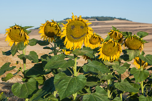 Camino De Santiago「Sunflower with a face drawn on it, Castile and Leon, Camino de Santiago, Burgos, Spain」:スマホ壁紙(6)
