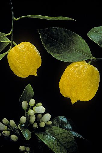 Bergamot「Citrus bergamia 'Castagnaro' (bergamot orange)」:スマホ壁紙(5)