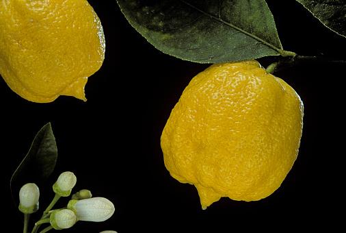 Bergamot「Citrus bergamia 'Castagnaro' (bergamot orange)」:スマホ壁紙(12)