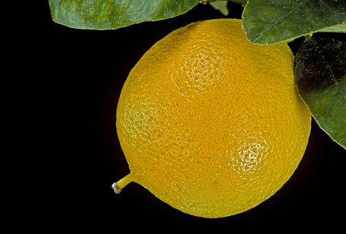 Bergamot「Citrus bergamia 'Femminello' (bergamot orange)」:スマホ壁紙(9)
