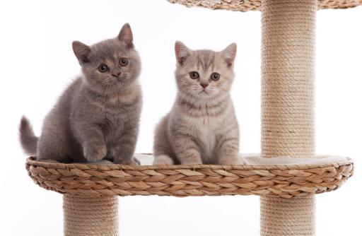 Kitten「2 つの小さな英国ショートヘア kittens」:スマホ壁紙(17)