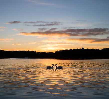 Animals In The Wild「Two swans on lake, Hovekilen, Tromoy, Norway」:スマホ壁紙(5)