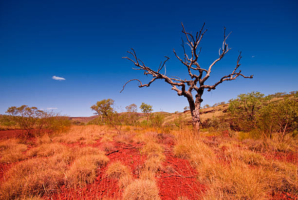 Outback Western Australia - Tree in Karijini National Park:スマホ壁紙(壁紙.com)