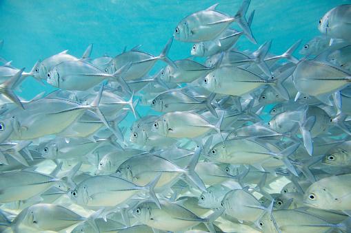 Hikkaduwa「Flock of tropical fish.」:スマホ壁紙(15)