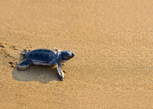 Sea Turtle「New born Caretta (loggerhead) sea turtle crawling on golden sands」:スマホ壁紙(12)