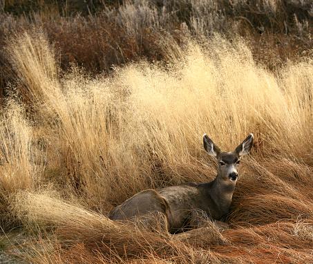Doe「Deer Bedding Down in a Meadow」:スマホ壁紙(13)