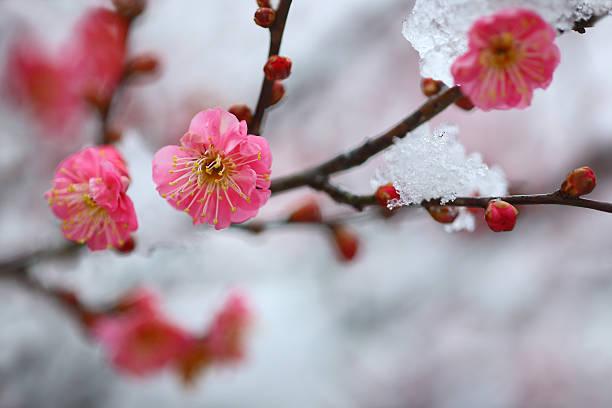 Red Plum Blossom in Snow:スマホ壁紙(壁紙.com)